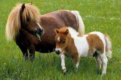 เจ้าม้าตัวเล็กตัวน้อย ที่มีสายพันธุ์ถึงห้าสายพันธุ์ ทั้งน่ารักแต่ก็ยังมีไม่พอ